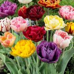 Mixed Double Late Tulip – 10 bulbs