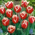 Canasta Fringed Tulip – 10 bulbs