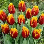 Davenport Fringed Tulip – 10 bulbs –