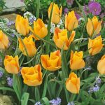 Bronze Charm Species Tulip – 10 bulbs
