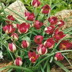 Persian Pearl Species Tulip – 10 bulbs