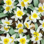 Biflora Species Tulip – 10 bulbs