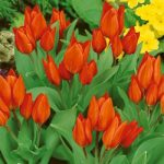 Fusilier Species Tulip – 10 bulbs
