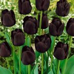 Paul Scherer Triumph Tulip – 10 bulbs