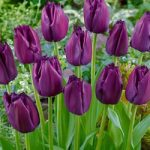 Curly Sue Fringed Tulip – 10 bulbs