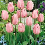 Rosalie Triumph Tulip – 10 bulbs