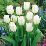 Wildhof Triumph Tulip – 10 bulbs
