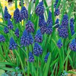 Paradoxum Muscari – 10 bulbs