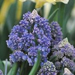 Fantasy Creation Muscari – 10 bulbs