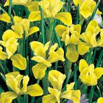 Danfordiae Dwarf Iris – 10 bulbs