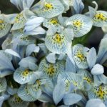 Katharine Hodgkin Dwarf Iris – 10 bulbs