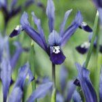 Clairette Dwarf Iris – 10 bulbs