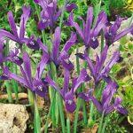 J.S. Dijt Dwarf Iris – 10 bulbs