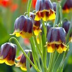 Michailovskyi Fritillaria – 5 bulbs