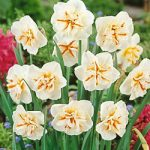 Broadway Star Split Cup Daffodil – 10 bulbs