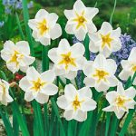 Lemon Beauty Split Cup Daffodil – 10 bulbs