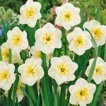 Papillon Blanc Split Cup Daffodil – 10 bulbs