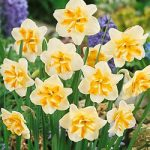 Sorbet Split Cup Daffodil – 10 bulbs