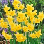 Tripartite Split Cup Daffodil – 10 bulbs
