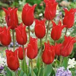 Pretty Woman Lily Flowering Tulip – 10 bulbs