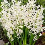 White Festival Multiflora Hyacinth – 10 bulbs