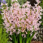 Pink Festival Multiflora Hyacinth – 10 bulbs