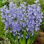 Blue Festival Multiflora Hyacinth – 10 bulbs