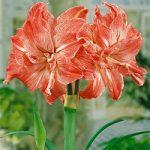 Lady Jane Jumbo Amaryllis – 1 bulb