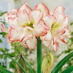 Double Record Jumbo Amaryllis – 1 bulb