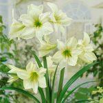 Green Goddess Jumbo Amaryllis – 1 bulb