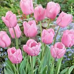 Pink Diamond Single Late Tulip – 10 bulbs