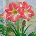 Exposure Jumbo Amaryllis – 1 bulb