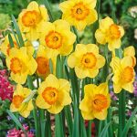 Delibes Large Cup Daffodil – 10 bulbs