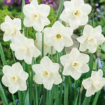 Misty Glen Large Cup Daffodil – 10 bulbs