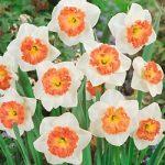 Precocious Large Cup Daffodil – 10 bulbs