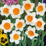 Prof. Einstein Large Cup Daffodil – 10 bulbs