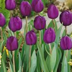 Recreado Single Late Tulip – 10 bulbs