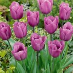 Violet Beauty Single Late Tulip – 10 bulbs