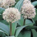 Karataviense Allium – 5 bulbs
