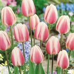 Beau Monde Darwin Hybrid Tulip – 10 bulbs