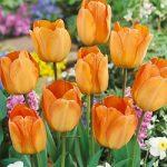 Daydream Darwin Hybrid Tulip – 10 bulbs