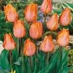 Best Seller Single Early Tulip – 10 bulbs
