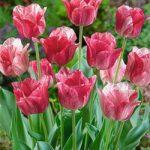 Hemisphere Triumph Tulip – 10 bulbs
