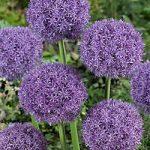Pinball Wizard Allium – 1 bulb