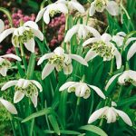 Flore Pleno Galanthus – 10 bulbs