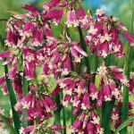 Pink Diamond Firecrackers – 25 bulbs