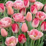 Pink Blend Tulips – 24 bulbs