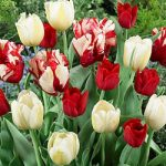 Red Blend Tulips – 24 bulbs