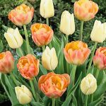 Peaches & Cream Tulip Blend – 10 bulbs