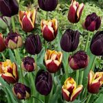 Black Blend Tulips – 24 bulbs